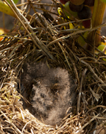 Nest in Weinreben